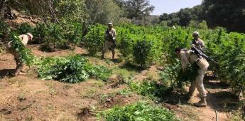 Ejercito localiza cinco plantíos de marihuana en el Cañon Japa