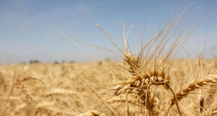 Contemplan cultivos como el cártamo y hortalizas del ciclo vigente en el valle de Mexicali