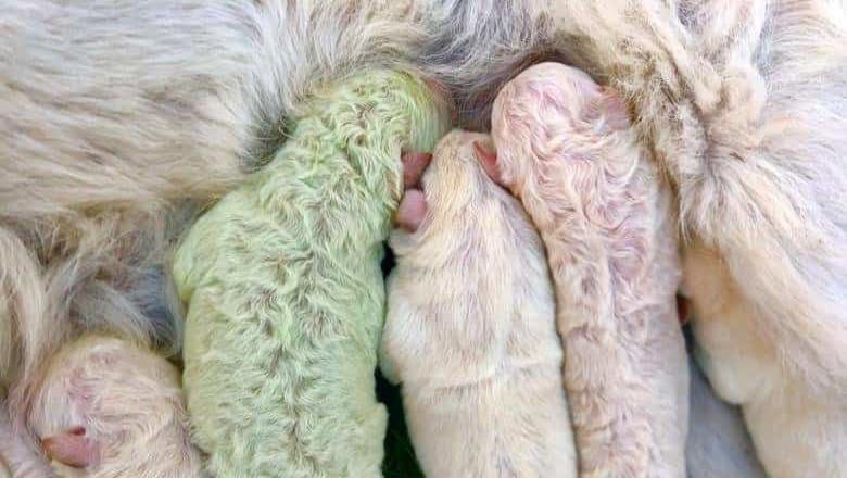 Perrito nace de color verde y lo bautizan Pistacho