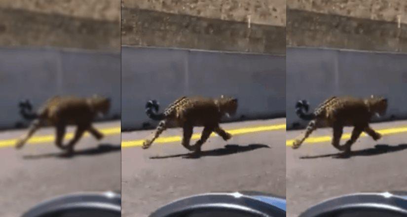 Captan a Jaguar trotando en la carretera Jala Compostela-Vallarta