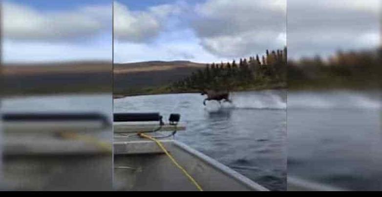 Alce galopa sobre un rio en Alaska