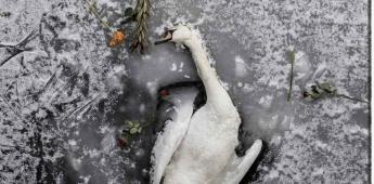 Cisne muere congelado en Berlín y habitantes realizan pequeño funeral
