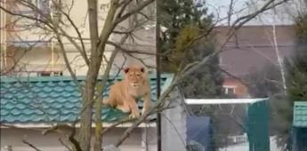 Rusia: un león es captado sobre el tejado de una casa