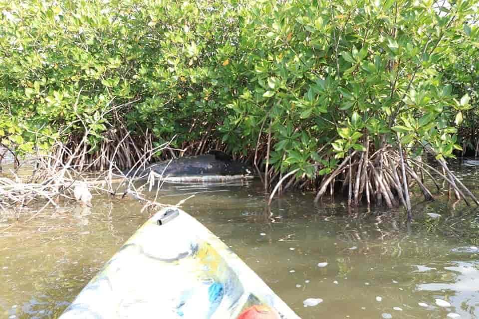Cancún: Hallan delfín muerto entre los manglares de la zona hotelera