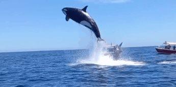 Captan a orca atacando a un delfín en Los Cabos