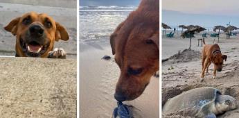 Solovino el perro cuida a las tortugas recién nacidas en playa Miramar en Tamaulipas