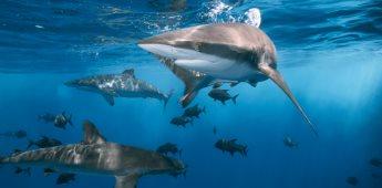 Conoce sobre el Día Internacional de los Tiburones