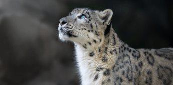 Detectan COVID-19 en un ejemplar de Leopardo del Zoológico de San Diego