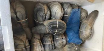 Retienen autoridades federales pepino de mar, almeja generosa y langosta.